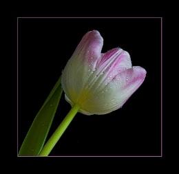 Raw Tulip