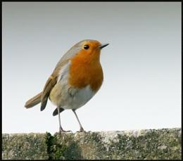 Robin (ducks and runs)