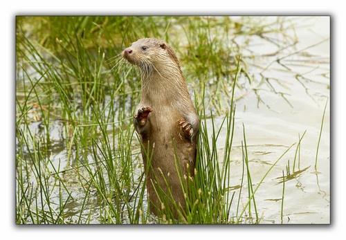 Otter by sasha
