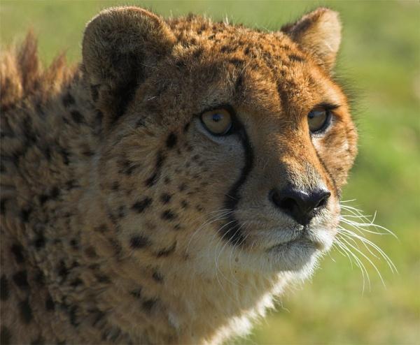 Cheetah Portrait by ReidFJR