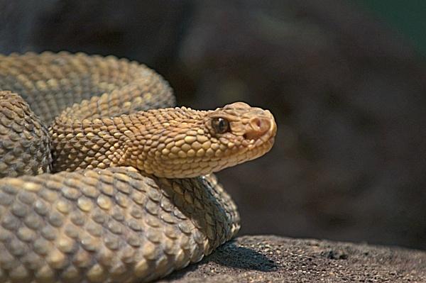 Aruba Island Rattlesnake by BerthaDBluze