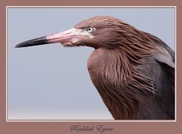 Reddish Egret up Close
