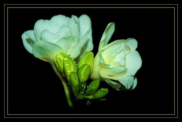 TENDER WHITE. by sunshot
