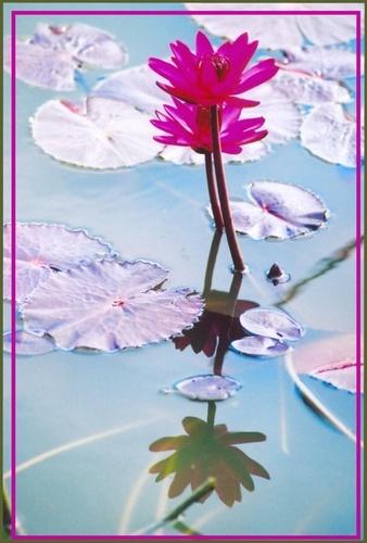 pink lily by rajasekaranamie
