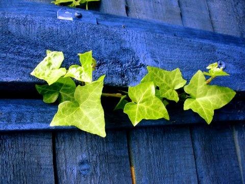 ivy on blue by mongogushi