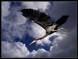 Great Heron #5