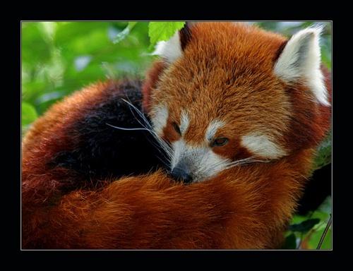 Red Panda by Nick-T