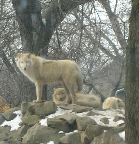 White Wolves by alaska55
