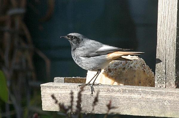 Black Redstart by Saxon Marsh