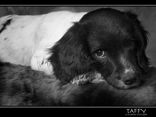 Taffy by afyfe