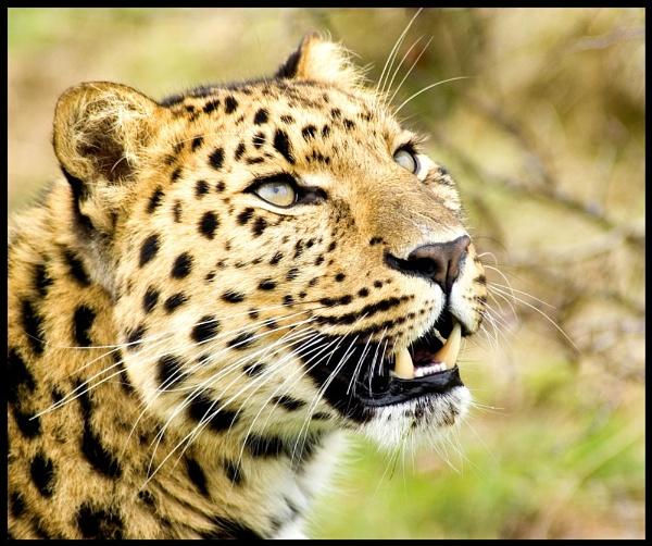 WHF Leopard by mttmwilson