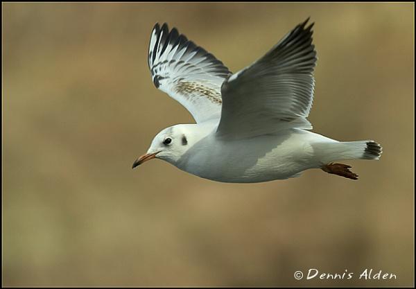 Black Headed Gull by Dennis.Alden