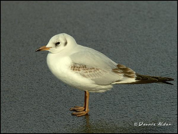 Gull on Ice by Dennis.Alden
