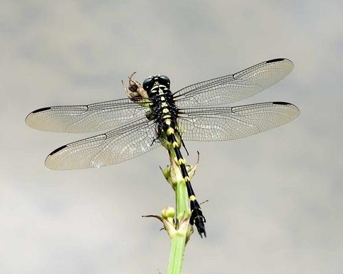Ninja dragonfly by mariner