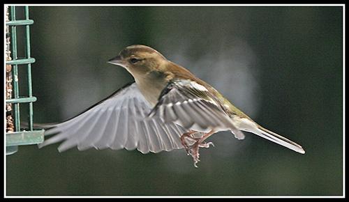 Chaffinch in flight # 3 by helengib
