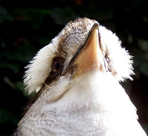 kookaburra by bratboy