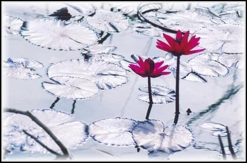 Pink lilly by rajasekaranamie