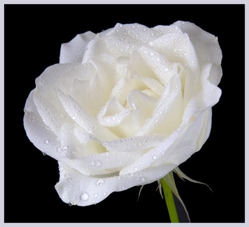 White Rose by trickydicky