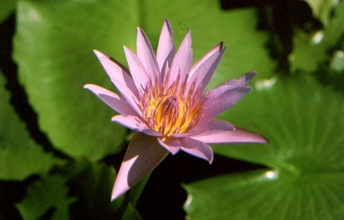 Water lily by Muppet