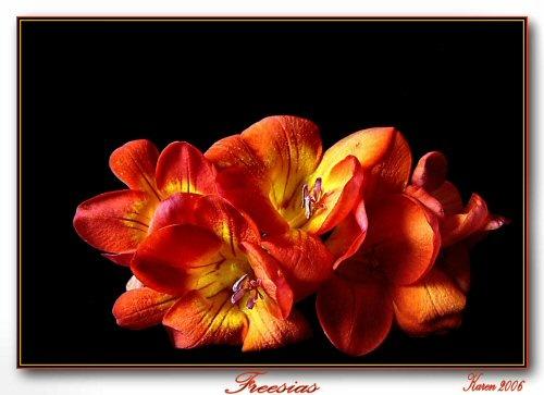 Freesias by mandarinkay