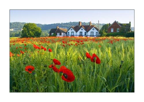 Poppy Field by trahern