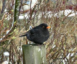 Blackbird by Adrian_Reynolds