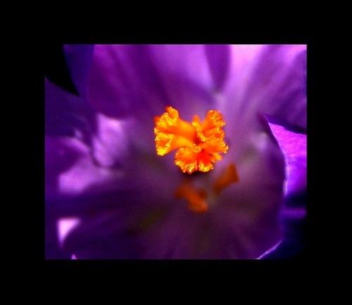 Purple Petticoat by dalischone