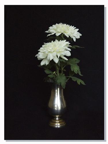 Chrysanthemum Classic view by FranciscoB