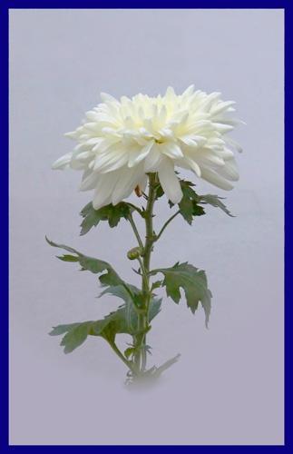 Chrysanthemum Classic setup by FranciscoB