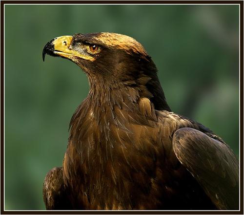 Steppe eagle by Hawkgenes