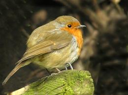 Robin No 4.