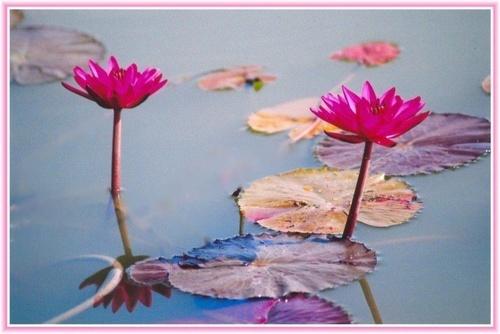 Lily pond by rajasekaranamie