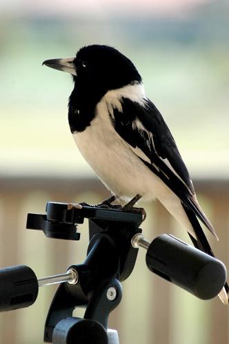 Aussie Butcher Bird by Jaye