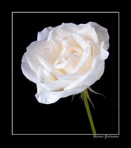 A not so white rose by trickydicky