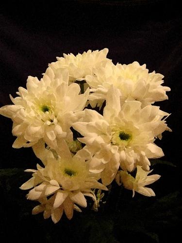White Carnations by marymangru