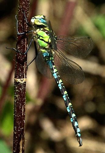 Southern Aeshna Dragonfly by surfgatinho