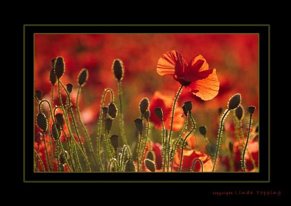 Poppy Field 2 by TopsyTopping
