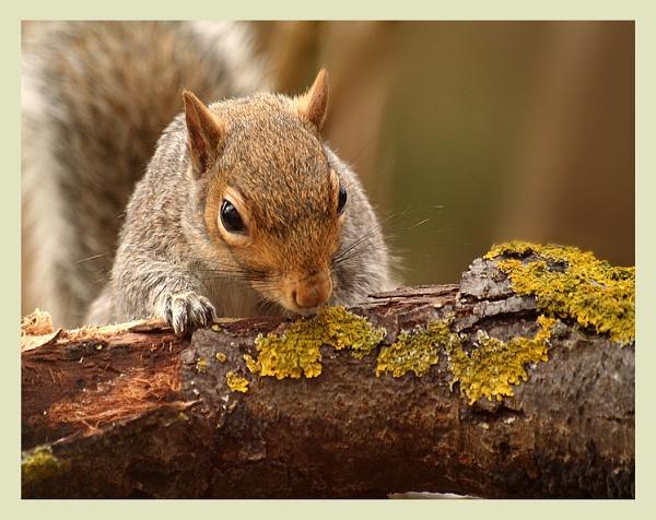 Squirrel nutkin by naturenut