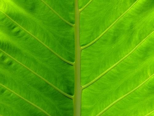 Yam Leaf by sasam