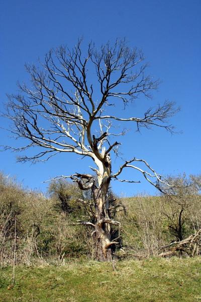 old tree by petegaylard
