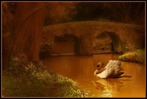 Walsingham Swan by elaine max