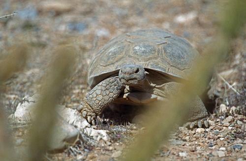 Desert Tortoise by nobby1