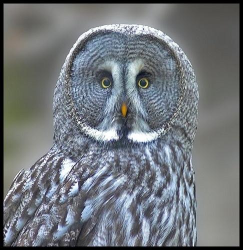 great grey owl portrait by paul_chong