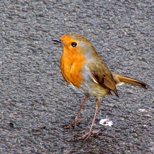 Robin by bratboy