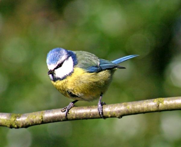 Blue Tit by cantona43