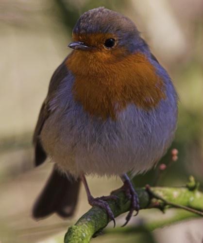 Braveheart Robin by davidjenkins