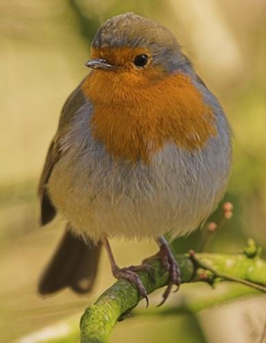 Second Chance Robin by davidjenkins