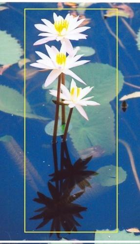white lilies by rajasekaranamie