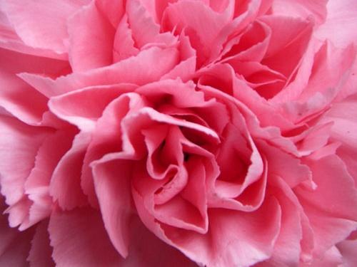 Pink Carnation by robertrshield