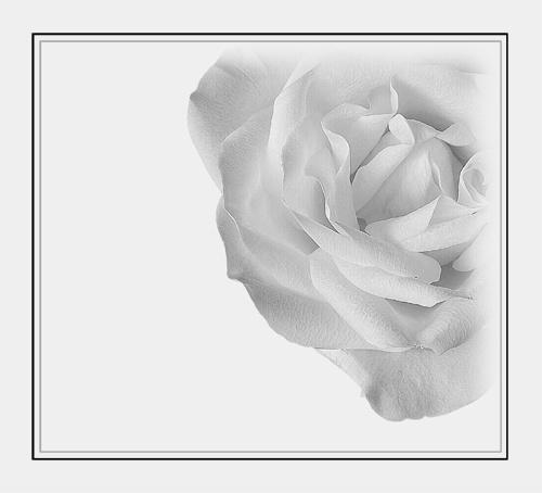 White Rose 2 by trickydicky